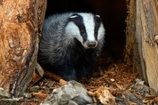 UK badgers - not under threat from Brexit but from current UK government policy.
